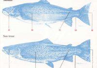تفاوت ماهی سالمون و قزل آلا